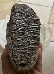 Wooly Mammoth tooth fossil With Roots Intact