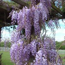 Wisteria Sinensis Caroline Climbing Plant 5 litre pot 5ft tall (150cm)