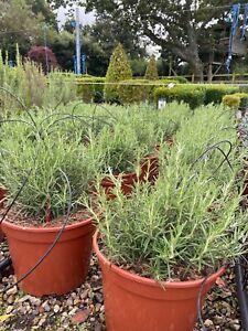 Large Rosemary Plant - Rosmarinus Officinalis. 15-20cm 7.5L
