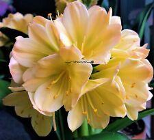 2 Amaryllis Usa Clivia Seeds Hattori Marie (Japan) X Hattori Nadia(Japan)