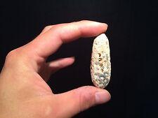 Pomme de pin fossile agatisée de l'Eocéne !! pine cone fossil plant!