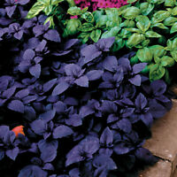 """USA"" F1 Purple Vanilla Basil 50-400 seeds (Compact Greek Bush Type)"