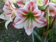 Amaryllis Hardy Pink and White ( Clown ) 6 Blooming Size Bulbs