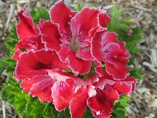 GERANIUM PELARGONIUM AFRICAN QUEEN REGAL   PLANT $7  POSTAGE $8.00 ANY 3 PLANTS