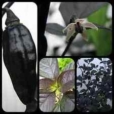 Pimenta da Neyde schwarze Chili Rarität megascharfe Chilli mit schwarzem Laub