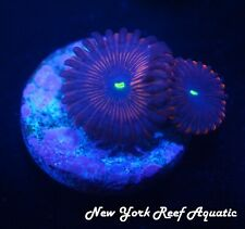 New listing New York Reef Aquatic - 0523 D3 Ppe Zoanthid Wysiwyg Live Coral