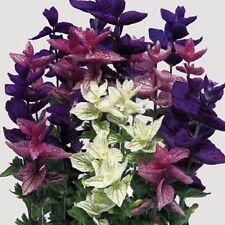 Salvia Tricolor Mix Seed Annual Clary 3 Colours Cut or Dried Flower Aromatic