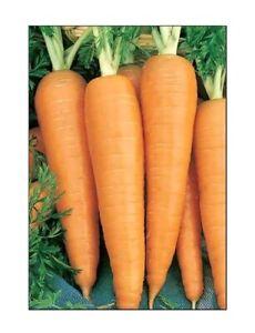 Danvers 126 Carrot Seeds | NON-GMO | Heirloom | Fresh Vegetable Seeds