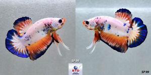 Live Betta Fish SP99 Fancy Blue Marble Multi Color HMPK Premium