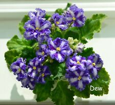 """Rus/Ukr African Violet Chimera 'Nd-Beauty Queen"""" - Plant in Bud"""