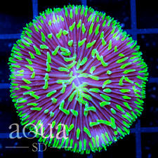 New listing Asd - 097 Jokers Plate Coral - Wysiwyg - Aqua Sd Live Coral Frag