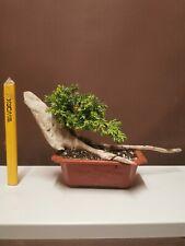 Bonsai tree shohin /mame Tanuki rocky nana Juniper  Tree Starter Project