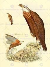 PAINTING ANIMAL BIRD POLLEN VAN DAM MADAGASCAN FISH EAGLE ART PRINT LAH423B