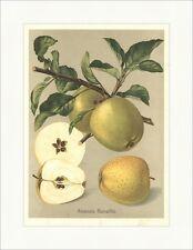 Ananas Renette Apfel Tafelapfel Pomologie Apfelsorten Äpfel Obstsorten 06