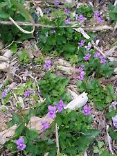 Wild Blue Violets, two dozen plants