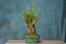 Sale* Escambron Pre-Bonsai Tree! Great Carving Project, Lots of Deadwood!