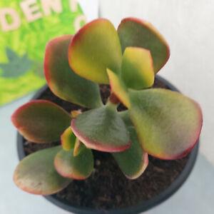 Geldbaum  Pfennigbaum  Crassula ovata   == BUNT  Nr.3  Ableger