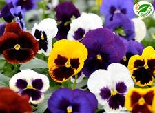 Pensamiento Gigante Variado ( 150 semillas ) Viola tricolor seeds pensamientos