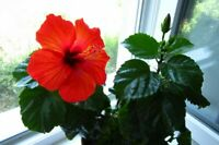 20Pcs Red Hibiscus Bonsai Seeds Balcony Indoor Flowers Potted Annual Home Garden