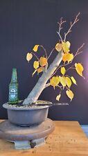 "Bonsai Tree Tilia cordata Thick Trunk ""little linden"""