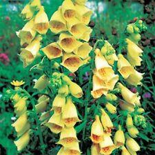 Foxglove- Yellow- 50 Seeds