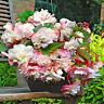 AG_ KF_ 100Pcs Begonia Seeds Plant Home Garden Bonsai Ornamental Flower DIY Deco