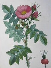 Redoute Les Roses 1 st Edition Rose Rosa kamtchatica - 1824