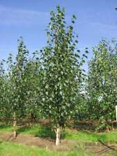 15+ Chinese Red Birch Betula Tree Seeds / Perennial / Long Lasting / Deciduous