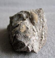 Fossile Schnecken Cepaea im Gestein aus dem Sokolover Becken, Tschechien