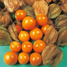 Oriental fruit-Coqueret - 35 graines