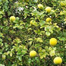 Poncirus trifoliata pot 1.5 litres citronnier épineux