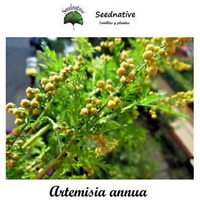 Artemisia annua - Ajenjo dulce - 1000 semillas - Saatgut - Graines - Semi - Bio