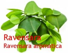 Ravensaraöl, Ravensare (Ravensara aromatica) naturr. ätherisches Öl, 10 ml