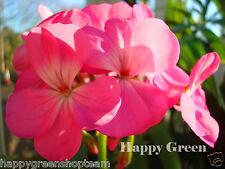 F2-jardin géranium rose - 10 graines-Pelargonium hortorum