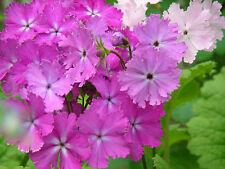 Primula Sieboldii Seeds : Sakurasou : Japanese Cherry Blossom Primrose : Mixed