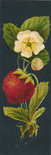 Dramatic 1890-1899 Strawberry Bookmark on Black Background