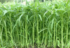 Water Spinach, Kangkong, River Spinach, Chinese Spinach or Watercress - 30 Seeds