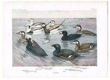Antique Color Plate Lithograph ~ OLDSQUAW * SCOTER (American & White-Winged)