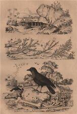 Coral. Coralline algae. Corbeau (Raven). Cordyle (Armadillo girdled lizard) 1834