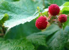 Thimbleberry (Rubus parviflorus) + Seeds