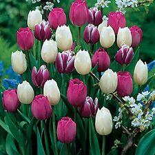 25 Purple Rain Mix Tulip Bulbs Tulipa Triumph Super-Sized Value Bag Daylily