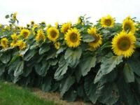 Sunflower Seed: Dwarf Sunspot 50 Seeds Average Height 0.6-0.75 Meters Sun Flower