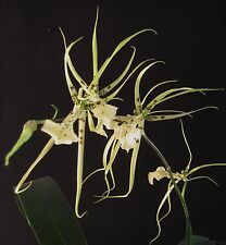 New listing Brassia (King Kong x Datacosa 'Coos Bay' Am/Aos) Orchid Plant
