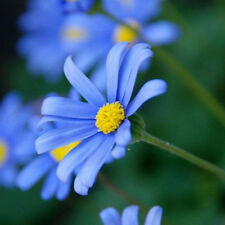 50Pcs Blue Daisy Seeds hardy plant flower seeds Garden Decoration Perennial
