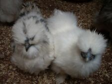 6 Mixed colours silkie miniature and bantam Fertile hatching eggs