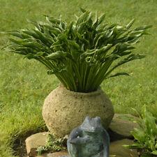 Rare Mini Praying Hands Hosta Flowering Perennial Starter Plant use as accent