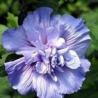 "Hibiscus Syriacus Rose of Sharon 6 Plants 3""-6""  Bush Tree Shrub Mixed Colors"