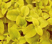 COLEUS WIZARD GOLDEN Solenostemon Scutellarioides - 40 Bulk Seeds
