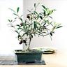 5 PCS Seeds Olive Bonsai Tree Olea Europaea Mini Olive Bonsai Fresh Exotic NEW Q