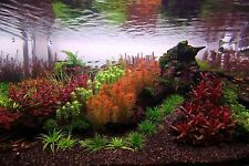 25 plants - RED & PINK species BUNCHED & WEIGHTED live tropical aquarium